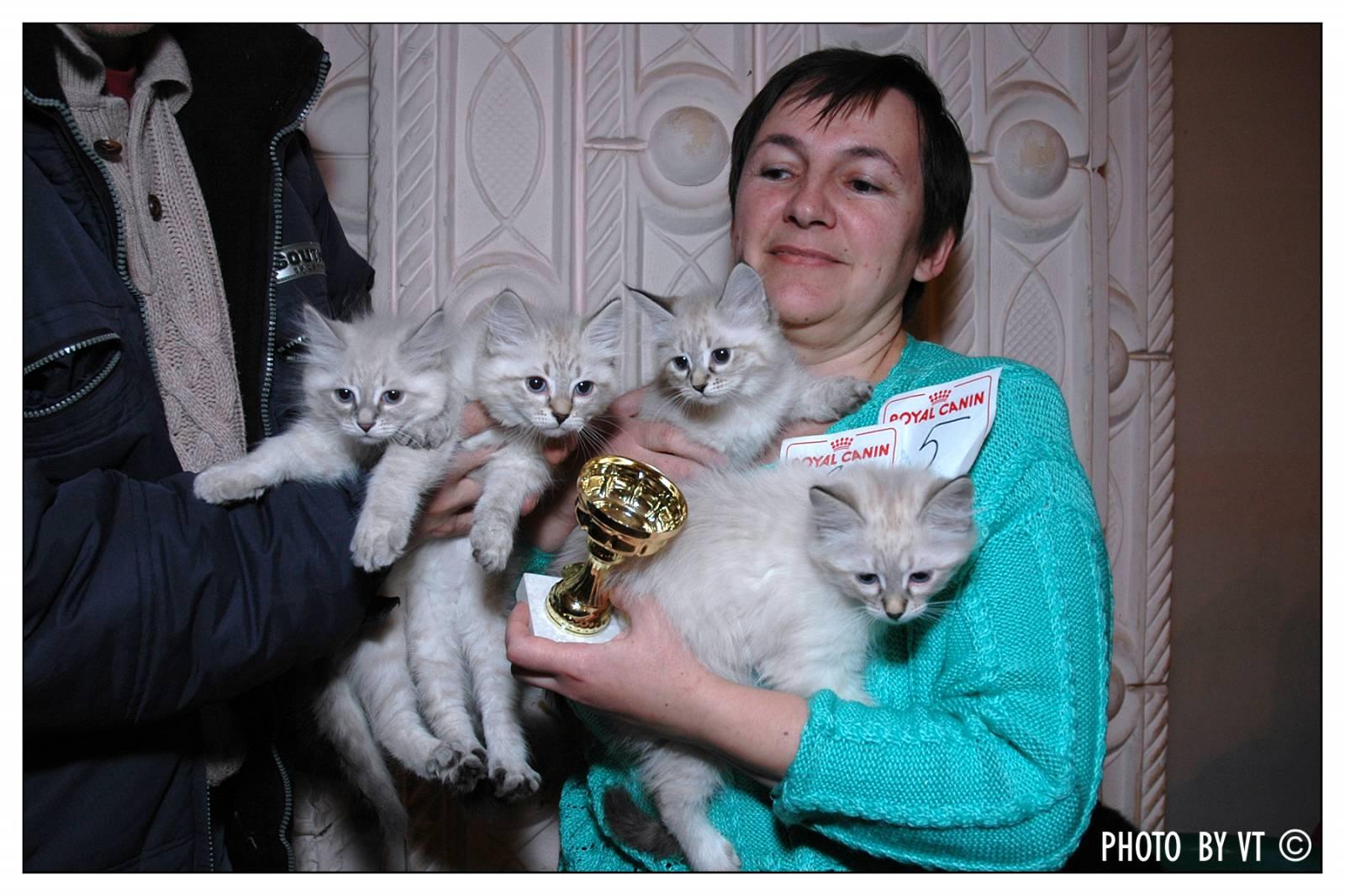 новорожденные котята невская маскарадная фото #7